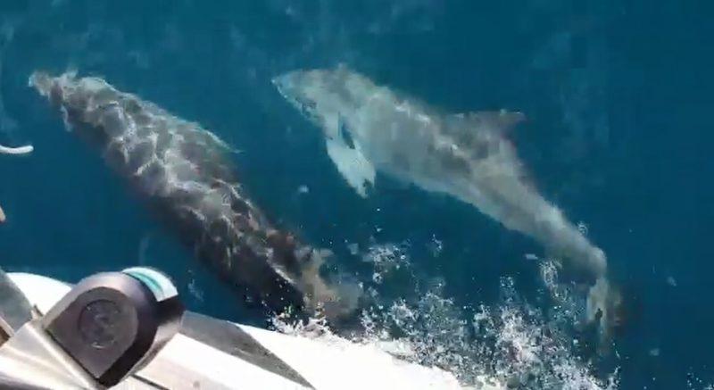 הדולפינים מול חופי הרצליה. צילום רן גרושקביץ