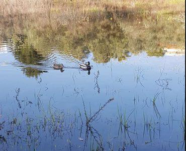 ברווזים בבריכה שנקוותה מול אשכול הגנים