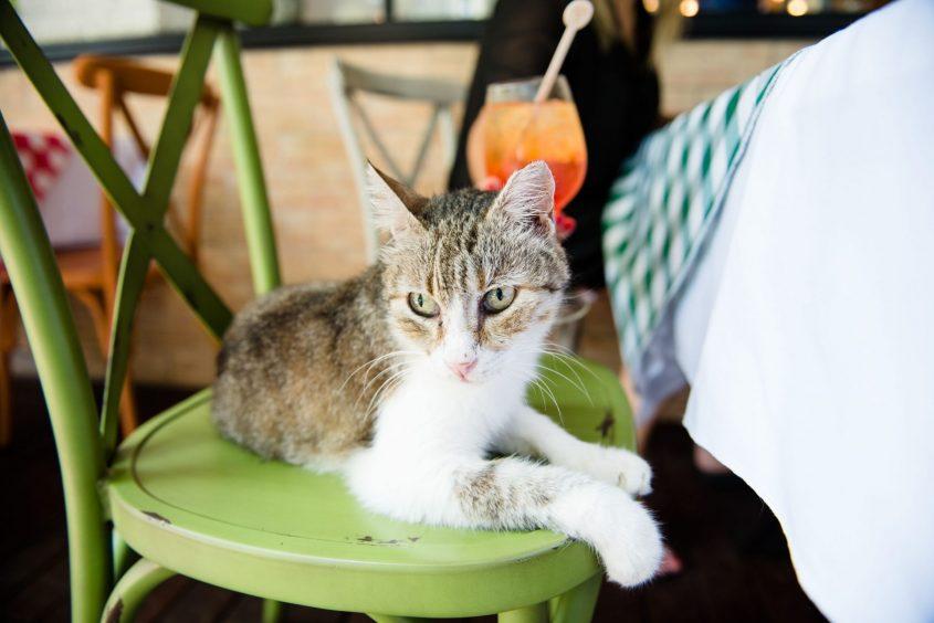 חתול הבית של טאבולה. צילום: נתי חדד